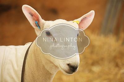 RAWF Breeding Sheep Show Candids 2014