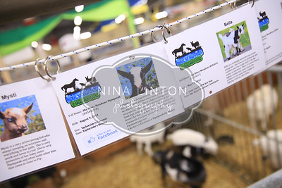 RAWF Dairy Goat Show Candids 2014